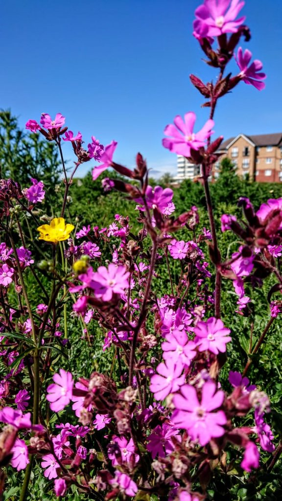 Wild flowers at the recreation ground on Greenbridge Road, Swindon